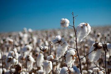 plantacion de algodón Cámara Algodonera Argentina